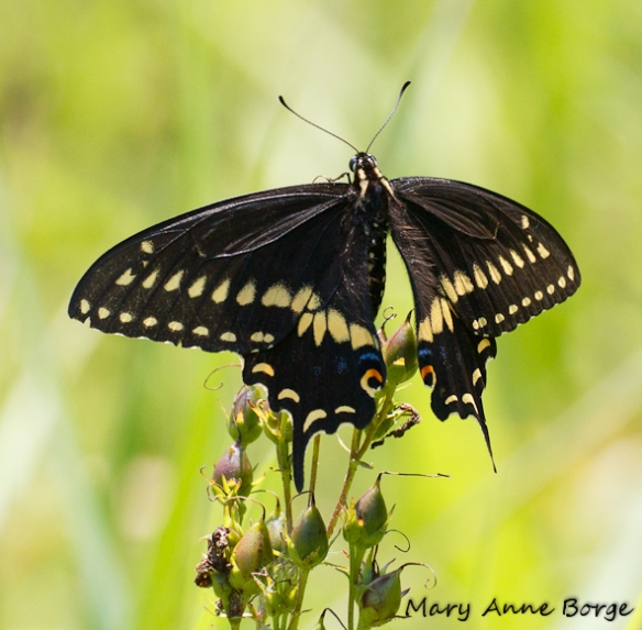 Male Black Swallowtail perching