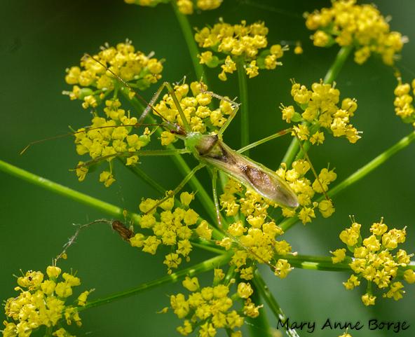 Golden Alexander Hosts Black Swallowtail Butterflies