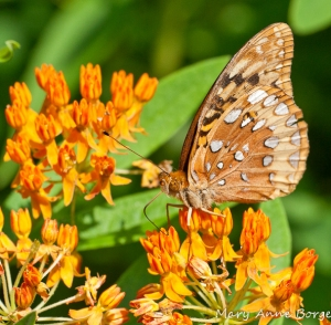 Great Spangled Fritillary on Butterflyweed