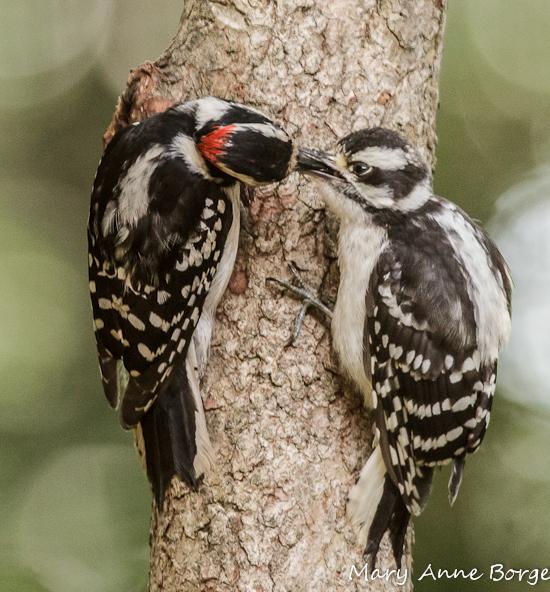 juvenile woodpeckers 2
