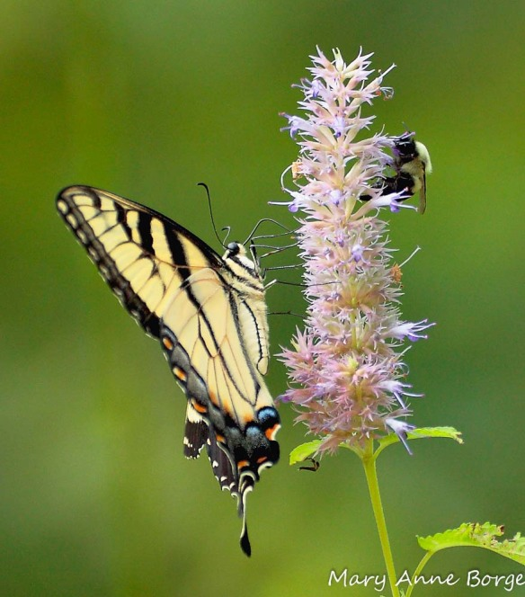 Eastern Tiger Swallowtail with Bumble Bee on Purple Giant Hyssop