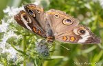 Common Buckeye on Narrow-leaved Mountain Mint