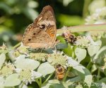 Common Buckeye and Honey Bees on Short-toothed Mountain Mint