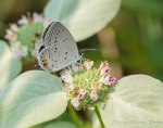 Eastern-tailed Blue on Short-toothed Mountain Mint