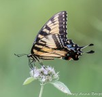Eastern Tiger Swallowtail on Hoary Mountain Mint