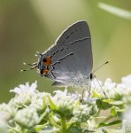 Gray Hairstreak on Virginia Mountain Mint