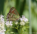 Juniper Hairstreak on Narrow-leaved Mountain Mint