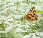 Variegated Fritillary on Short-toothed Mountain Mint