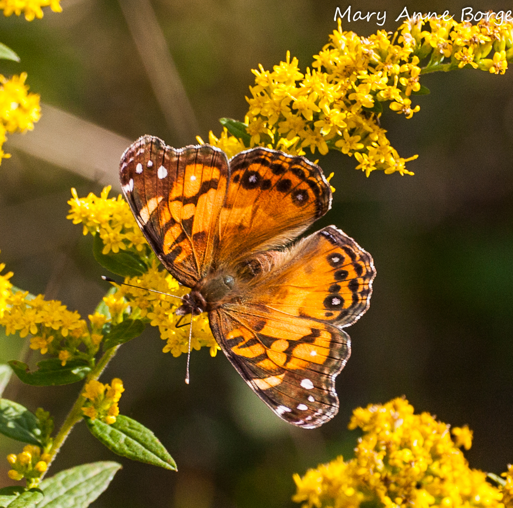 American Lady on Goldenrod