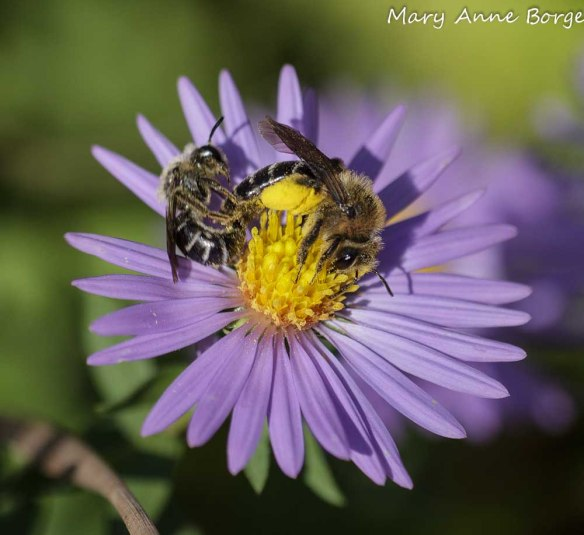 Mating Bees on Aromatic Aster (Symphyotrichum oblongifolium)