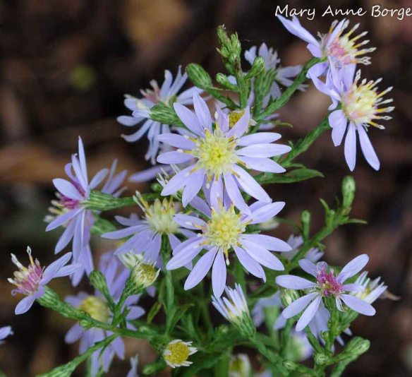 Blue Wood Aster (Symphyotrichum cordifolium)