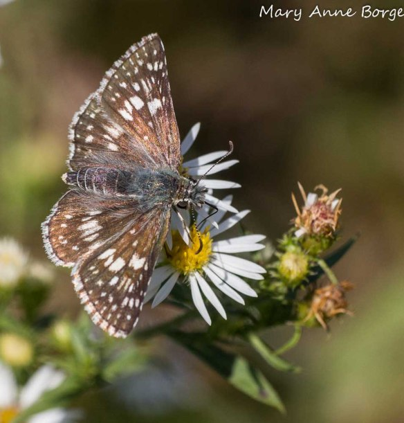 Common Checkered Skipper on Aster