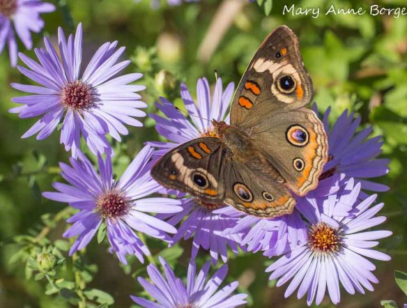 Aromatic Aster (Symphyotrichum oblongifolium) with Common Buckeye