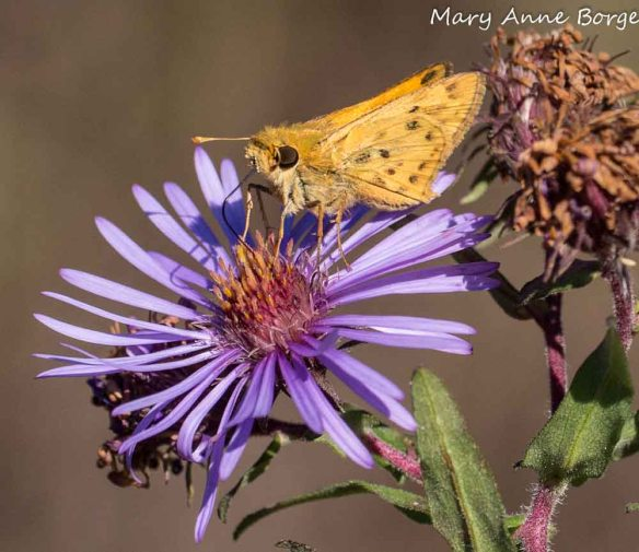 Fiery Skipper on New England Aster (Symphyotrichum novae-angliae)