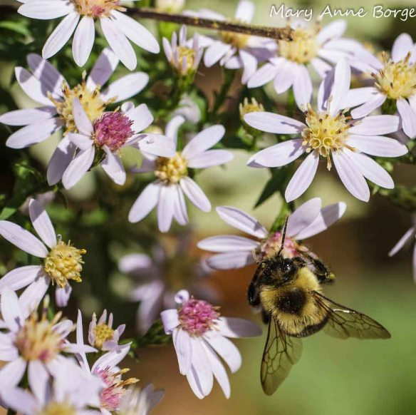 Blue Wood Aster (Symphyotrichum cordifolium) with Bumble Bee