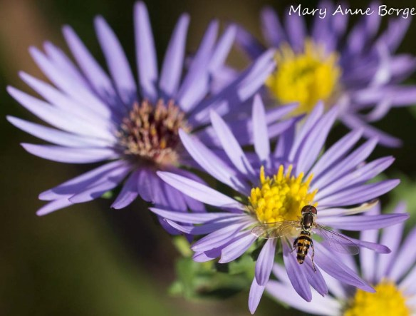 Hover or Flower Fly, likely Toxomerus geminatus, on Aromatic Aster (Symphyotrichum oblongifolium)