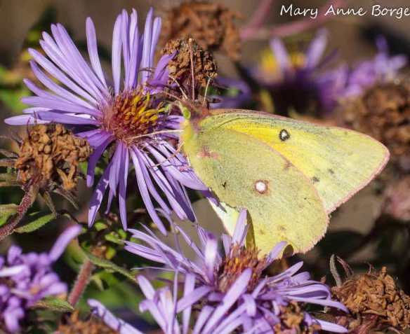 Orange Sulphur on New England Aster (Symphyotrichum novae-angliae)