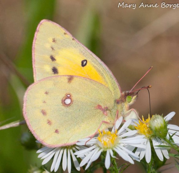 Orange Sulphur on Awl Aster (Symphyotrichum pilosum)