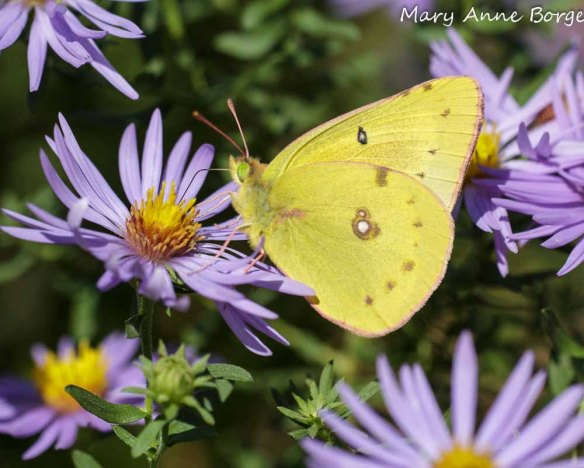 Orange Sulphur on Aromatic Aster (Symphyotrichum oblongifolium)