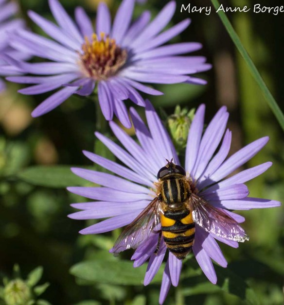Flower or Hover Fly, Helophilus sp, on Aromatic Aster (Symphyotrichum oblongifolium)