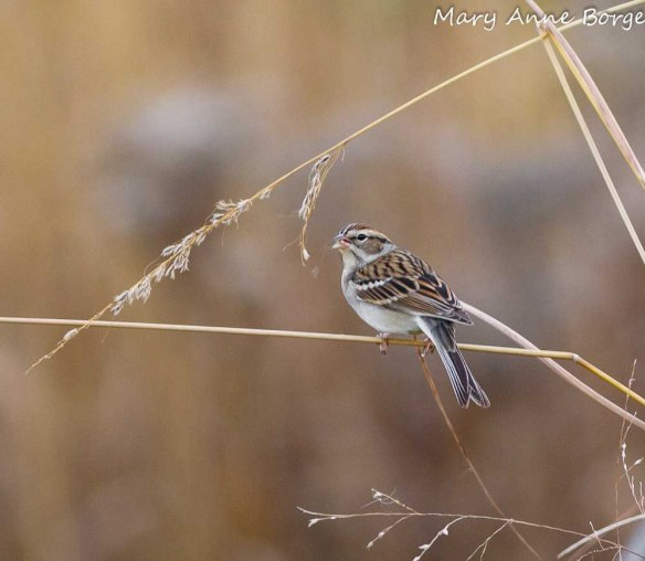 Chipping Sparrow eating  Indian Grass seeds