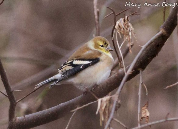 Goldfinch in winter plumage