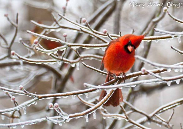 Cardinals, in dogwood in winter