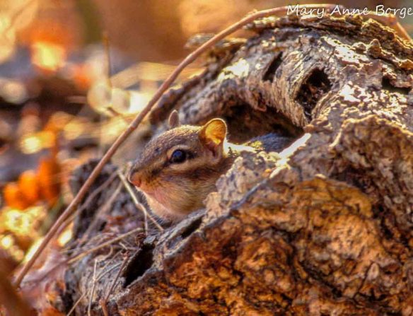 Eastern Chipmunk peeking out of tree stump