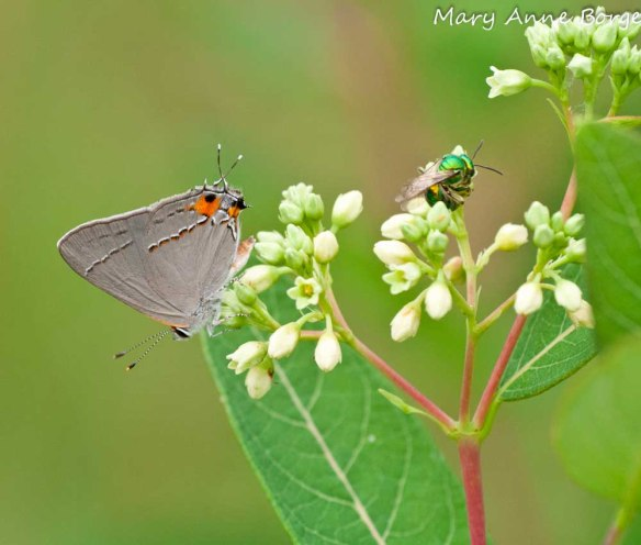 Sweat Bee and Gray Hairstreak on Indian Hemp (Apocynum cannabinum)