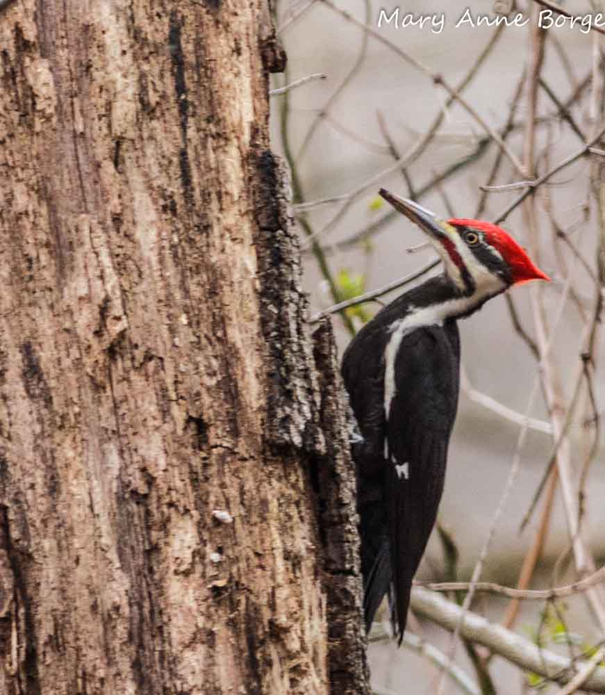 Pileated Woodpecker The Natural Web