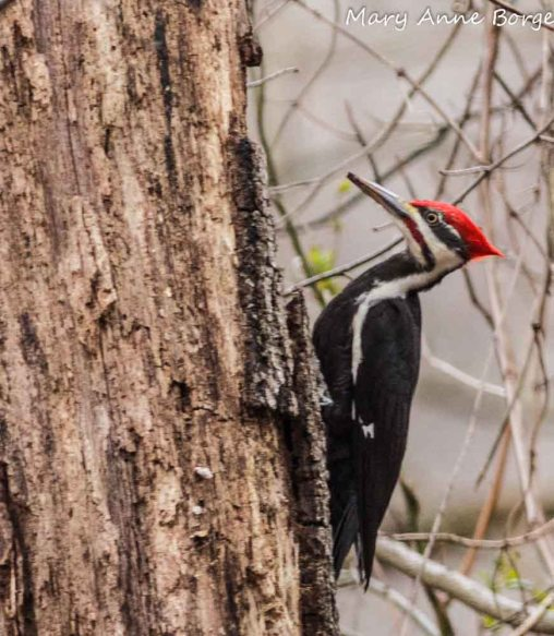 Pileated Woodpecker feeding on insects in dead tree
