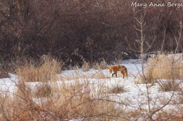 Red Fox, hunting