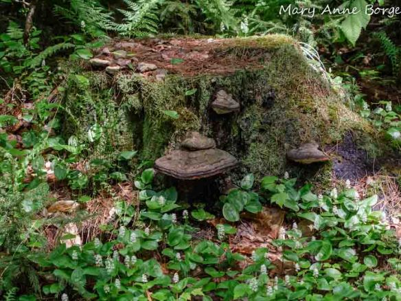 Tree stump with mushrooms, mosses, ferns and Canada Mayflower (Maianthemum canadense)