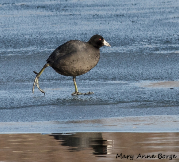 American Coot, skating on thin ice