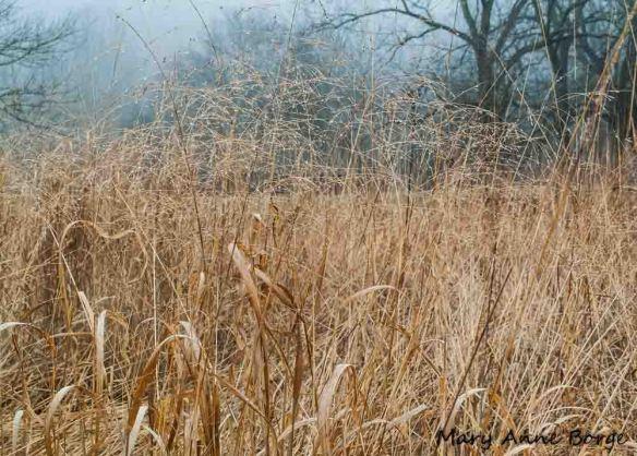 Switchgrass (Panicum virgatum)