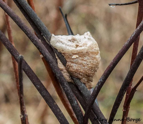 Chinese Mantis egg case on Indian-hemp (Apocynum cannabinum) fruit capsules