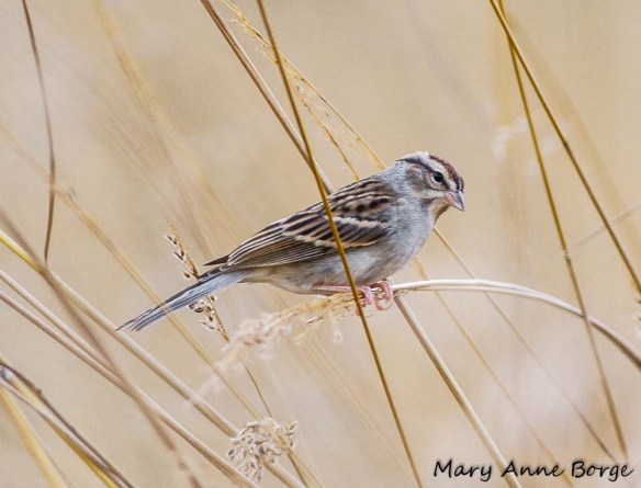 Chipping Sparrow on Indiangrass