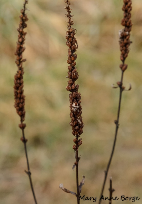 Culver's Root (Veronicastrum virginicum) with spider
