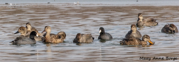 Gadwalls with American Coots, feeding