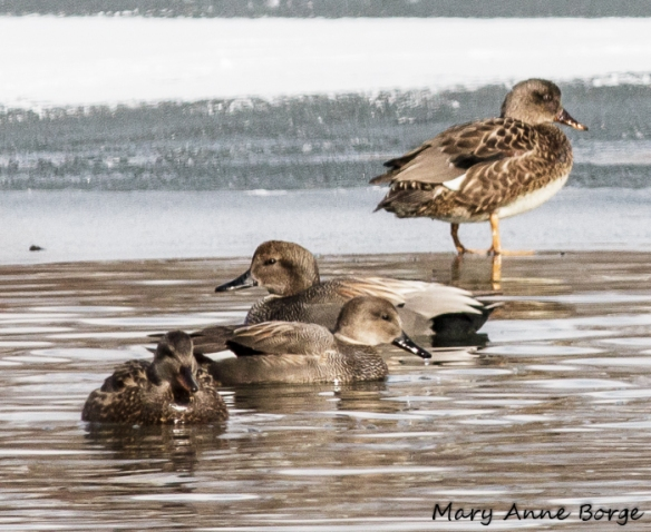 Gadwalls, possibly mated pairs