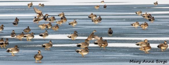 A large flock of Gadwalls, on ice at Spring Lake