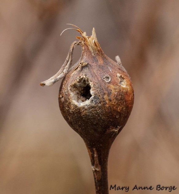 This Goldenrod Ball Gall has been excavated by a Downy Woodpecker