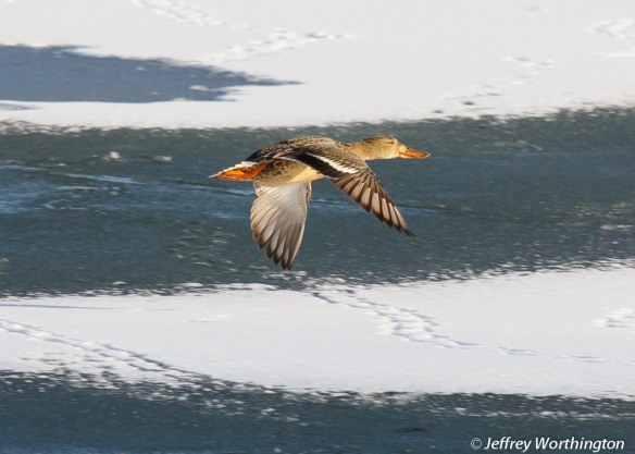 Gadwall in flight over Spring Lake
