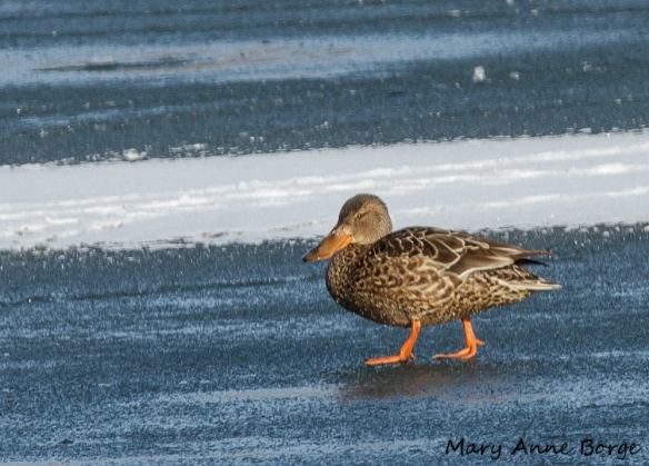 Northern Shoveler, female