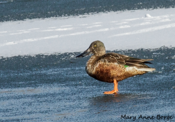Northern Shoveler, male, likely first year