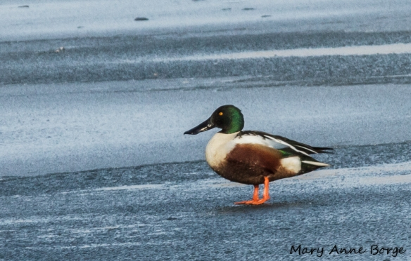 Northern Shoveler, adult male