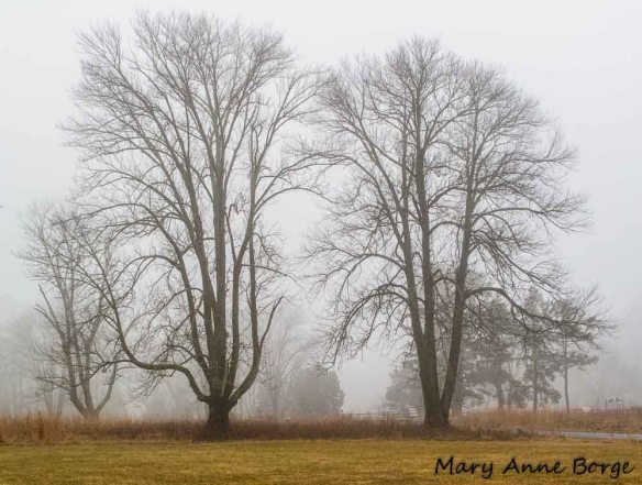 White Ash (Fraxinus americana) trees at the edge of the meadow