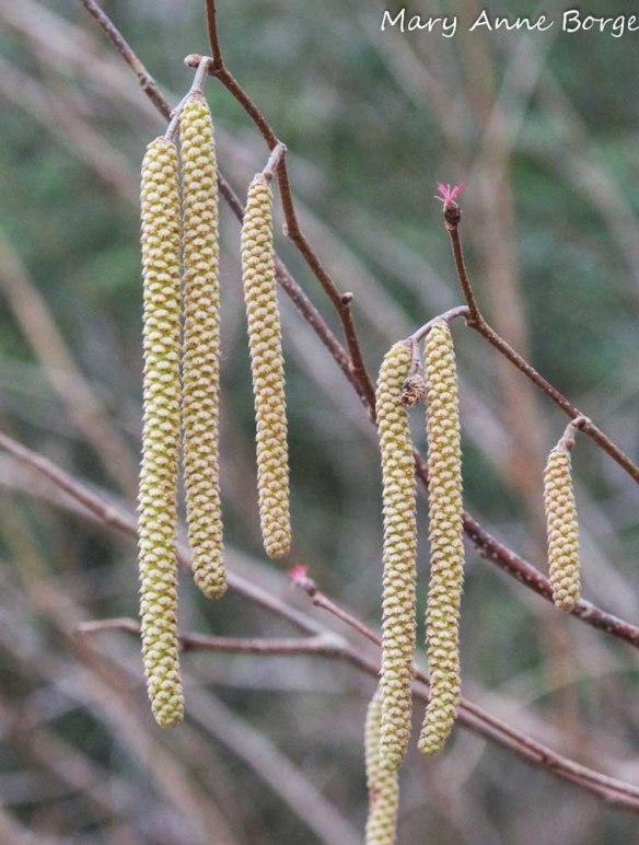 American Hazelnut Flowers