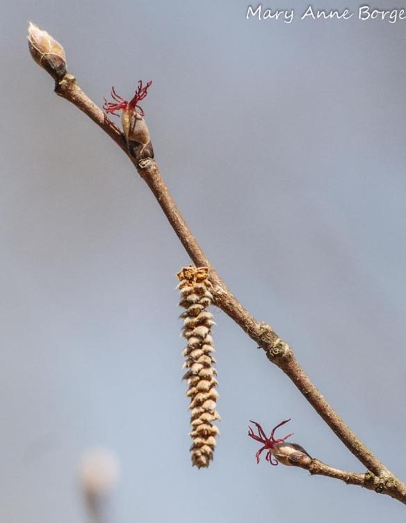 Beaked Hazelnut Flowers