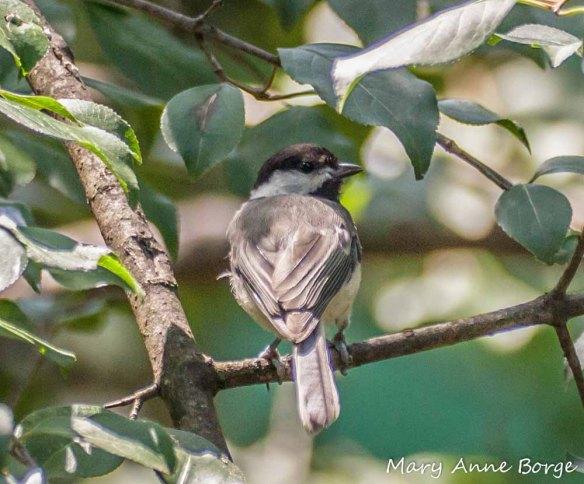 Chickadee in Blackhaw Viburnum (Viburnum prunifolium)